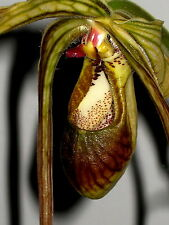 Phragmipedium species Dark Selection New orquídea orquídeas