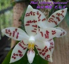 Phalaenopsis zebrina Palawan species Orchid Plant