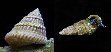 100+ Mix N Match Astraea Turbo Snails / Blue Leg Hermit Crabs - Clean Up Crew