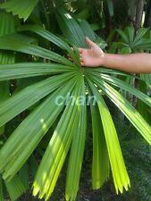 *UNCLE CHAN* 10 seed WINDMILL PALM TREE Shrub Broadleaf Lady Rhapis Excelsa
