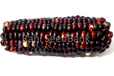 Corn Black Fire - One of the Most Stunning Red Chocolate Corn Variety!!!
