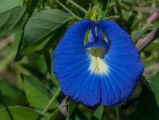 "Butterfly pea - Blue pea ""Clitoria ternatea"" 20 seeds"