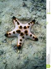 Chocolate Chip Starfish For Marine cuc fish coral