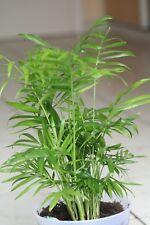 Chamaedorea elegans - The Parlour Palm - 20 Fresh Seeds