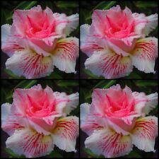 Adenium~Desert Rose < PINK PANTHER > Suit Bonsai~Indoor~10 SEEDS