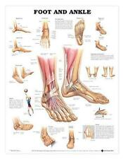 Foot and Ankle Anatomical Chart/Charts/Models
