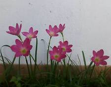 """8 Rain Lily Bulbs, Zephyranthes """"Rosea"""", Rainflower Magic Lily, Flowering Size"""