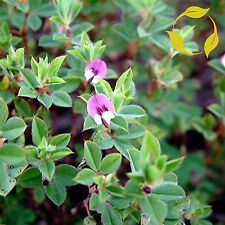 KOREAN LESPEDEZA Lespedeza Stipulacea - 100 SEEDS