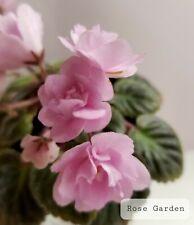 African Violet Rose Garden - Starter Plant