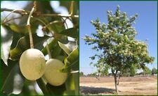 Sacred Barma 10 seeds Crateva religioso tree. A Philippine native plant กุ่มน้ำ