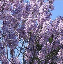 48h Lieferung! Blauglockenbaum (Paulownia tomentosa) Samen Royal Paulownia Seeds