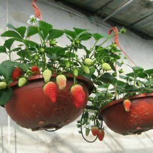 Potted Strawberry Seed 50 Seeds Fragaria Ananassa Sweet Fruit Seeds B108