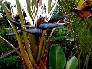 Strelitzia nicolai  White Bird of Paradise  8 seeds