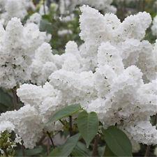White Syringa Lilac Seed Outdoor Bonsai Plant Grove Shrub Garden Supplies 50 Pcs