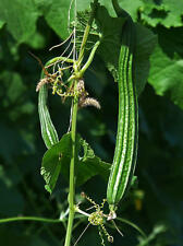1 packet (50 seeds) - Gourd - Luffa Angled - Chinese Okra - Muop Khia - Seeds