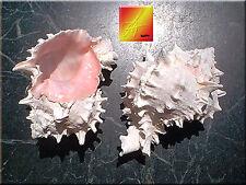 "6 Pink Murex Shells Seashell 3""-4"" Beach Wedding Hermit Crab Decor Craft"