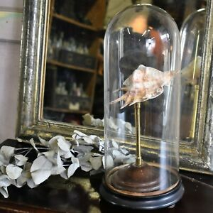 Antique Victorian Glass Dome Cloche Museum Shop Display Stand