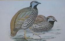 Gravure ancienne Perdrix Chasse oiseaux