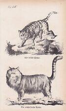 Wildkatze Felis silvestris Angorakatze LITHOGRAPHIE von 1831 Brüggemann Schinz