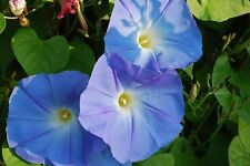 750 Bulk Heavenly Blue Morning Glory Seeds, Untreated, Ipomoea tricolor 1 Ounce