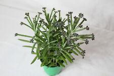 Brutblatt Kalanchoe tubiflora Syn. delagoensis, Pflanzen in 6 cm Topf Viviparie