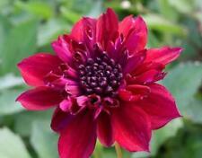 Pack x1 Anemone Dahlia 'Purpinka' WPC Prins Summer Bulb/Tuber