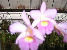 Ctna. Caribbean Princess,Really Nice Plant! Hloiday Discount!