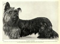 1930s Antique SKYE TERRIER Dog Print Austrian Specimen Skye Terrier 3514-F