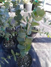 Rare!! Silver Dollar Eucalyptus -Cinerea15 t 25 inchs tall-1 gal.Potted