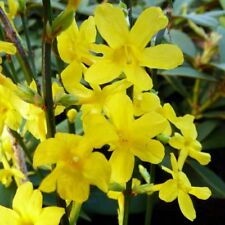 Yellow Flowers Winter Jasmine (Jasminum nudiflorum) Rooted cutting Live Plant