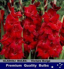 FLOWER BULBS - GLADIOLI - Victor Borge -10x  BULBS