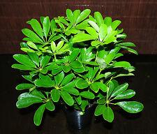 "Hawaiian Schefflera Arboricola Tropical Umbrella Tree Large 6"" Bonsai Prospect"