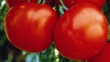 Heirloom MARGLOBE Tomato HIGH YIELDS 200 Seeds Humidity/Disease/Crack Resistant