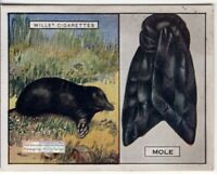 Common Mole  And Its Fur Pelt Trapping Hunting c90 Y/O Ad Trade Card