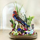Bd10 Taxidermy Lg Oval Antique Victorian Style Rosella Bird Oval Dome Display