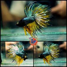 New listing Live Betta Fish Male Juvenile Fancy Green Copper Mustard Crowntail #E1001