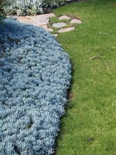 Succulent-Blue Chalksticks (B)- SMALL COMPACT FORM -Senecio serpens -50 cuttings