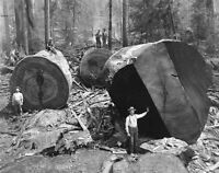 Vintage Redwood Sequoia Logging Photo Big Logs California