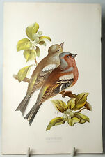 More details for chaffinches bird antique chromolithography plate original 19th century.
