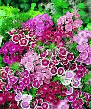 Fairy Flower Seeds Sweet William Wee Willie Mxd Approx. x100 seeds Bedding Plant