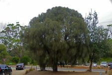 Drooping She Oak (Allocasuarina verticillata) 100 seeds
