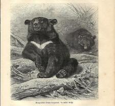 Stampa antica ORSO DAL COLLARE o ORSO TIBETANO BEAR 1891 Old antique print