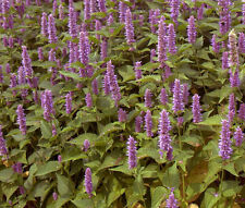 HYSSOP LAVENDER Agastache Foeniculum - 10,000 Bulk Seeds
