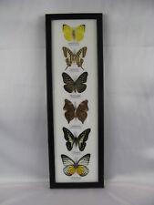 6 echte exotische Schmetterlinge im Schaukasten - einmalig und wunderschön h 19