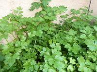 Graines semences CERFEUIL Commun  vert foncé (100 gaines ), Seeds de France