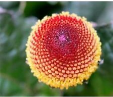 TOOTHACH Plant Seeds - Spilanthes oleracea x30 Seeds