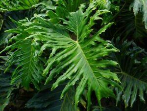 Philodendron bipinnatifidum         15 seeds