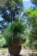 Mexikanischer Grasbaum Dasylirion quadrangulatum 10 Samen