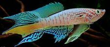 Rare! KILLIFISH 30 EGGS Fundulopanchax sjoestedti (Blue Gularis) Hatching