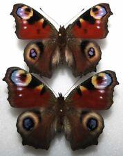 Aglais io x2 from Poland (mounted)